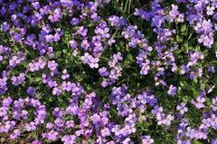 Fond du tapis de floraison de petites fleurs lilas Fin vers le haut Image stock