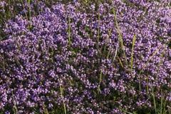 Fond du thym médicinal d'herbe Photos stock