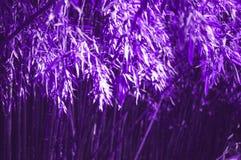 Fond en bambou ultra-violet foncé lumineux de forêt photo libre de droits