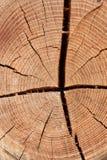 Fond en bois de tranche de texture de cercle Boucles sur un long Photographie stock libre de droits