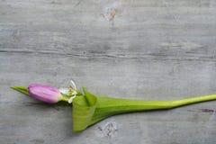 Fond en bois gris avec les tulipes blanches pourpres, la frontière de perce-neige et de crocus et l'espace vide de copie, décorat Photo stock