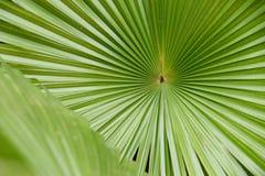 Fond en feuille de palmier de texture avec l'espace de copie Images stock