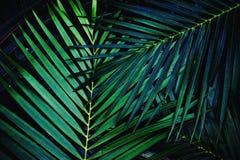 Fond en feuille de palmier vert-foncé de texture, concept tropical de ton de jungle photos libres de droits
