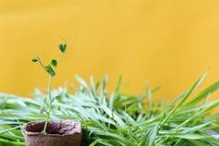 Fond ensoleillé de jardin de ressort qui respecte l'environnement en jaune S planté Images stock