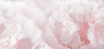 Fond et bokeh romantiques floraux en pastel roses Photo libre de droits
