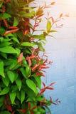 Fond et rouge verts de feuille sur un mur bleu photos libres de droits