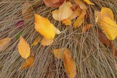 Fond Feuilles de bouleau jaune sur l'herbe sèche Photo stock