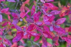 Fond Feuilles de rouge d'automne avec des gouttes de l'eau Images stock