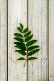 Fond, feuilles de sorbe, texture Image libre de droits