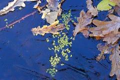 Fond Feuilles et lenticule de chêne sous la glace Photographie stock libre de droits