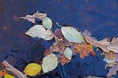 Fond Feuilles et lenticule de chêne sous la glace Image stock