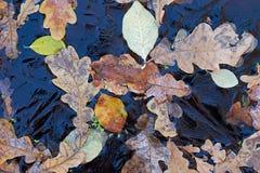 Fond Feuilles et lenticule de chêne sous la glace Image libre de droits