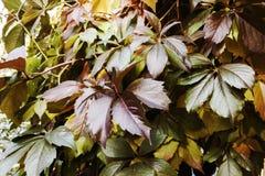 Fond : feuilles vertes et rouges de premiers raisins Photographie stock libre de droits