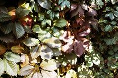 Fond : feuilles vertes et rouges de premiers raisins Photographie stock