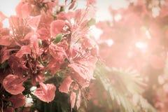 Fond flamboyant rouge de fleur Photos stock