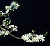 Fond fleurissant de noir de prune Photographie stock