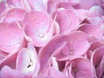 Fleurs et pétales d'hortensia rose Images stock