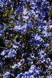 Fond floral bleu Photo stock