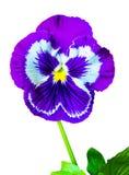 Fond floral coloré de pensées de pensée de fleur flo violet Photo stock