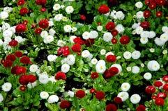 Fond floral d'été des fleurs de nature-le de perenni de Bellis Photographie stock