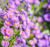 Fond floral d'été Les fleurs violettes magnifiques et les feuilles vert clair se ferment  Fond éternel violet d'asters Photographie stock libre de droits