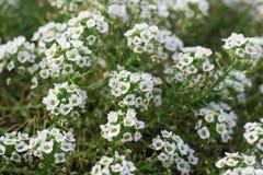 Fond floral de buisson fleurissant dans la fleur Photographie stock libre de droits
