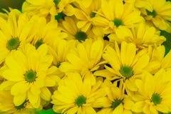 Fond floral de chrysanthème jaune Images stock