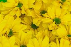 Fond floral de chrysanthème jaune frais Photographie stock