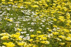 fond floral de marguerite de marguerite des prés Photos libres de droits