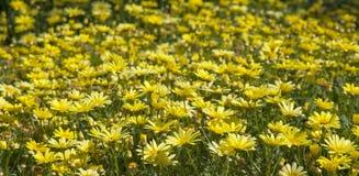 fond floral de marguerite des prés Images libres de droits