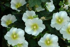 Fond floral de nature d'été - l'Alcea fleurit le paysage d'été Photo stock