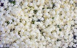 Fond floral de petites fleurs blanches Photographie stock