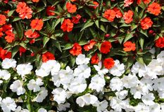 fond floral de peu de fleurs blanches et rouges Photographie stock