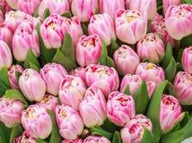 Fond floral de tulipes roses Photographie stock libre de droits