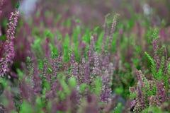 Fond floral des fleurs pourpres de lavande Image libre de droits