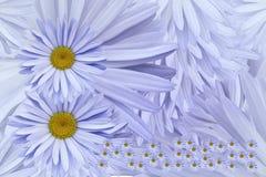 Fond floral des marguerites lilas légères 8 mars Carte postale pour les vacances Pétales d'un plan rapproché de camomille Images libres de droits