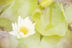 Fond floral doux, fleur de lotus blanc avec le foyer mou Image libre de droits