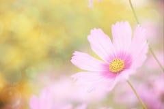 Fond floral doux, fleur rose de cosmos avec le foyer mou Image libre de droits