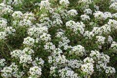 Fond floral du buisson blanc dans la fleur Photos stock