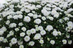 Fond floral du buisson fleurissant blanc dans la fleur Images libres de droits