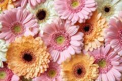 Fond floral lumineux des gerberas, carte de voeux contre les jeunes jaunes blancs de source de fleur de concept de fond Photographie stock libre de droits