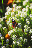 Fond floral naturel vibrant, macro papillon d'amiral rouge Photo libre de droits