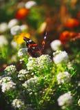 Fond floral naturel vibrant, macro papillon d'amiral rouge Photographie stock