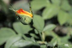 Fond floral normal Roses et marguerites multicolores Rouge et jaune Été dans le jardin photographie stock