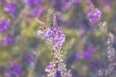 Fond floral violet gisement de lavande, effet blured Style de la Provence en fleurs d'herbe tons amortis Photographie stock libre de droits