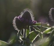 Fond floral Wildflowers des rayons du ` s de trèfle au soleil Orientation molle Photographie stock