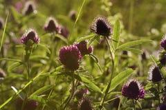 Fond floral Wildflowers des rayons du ` s de trèfle au soleil Orientation molle Image libre de droits
