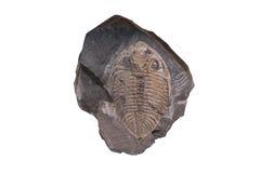 Fond fossile d'isolat d'ammonite avec le chemin de coupure Photographie stock