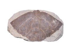 Fond fossile d'isolat d'ammonite avec le chemin de coupure Photographie stock libre de droits