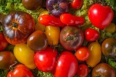 Fond frais de colorfull de tomates d'héritage, produit organique photo libre de droits